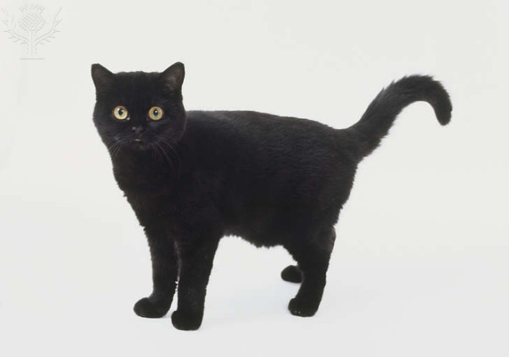 Black cat (Felis silvestris), thick velvety coat, looking at camera, side view