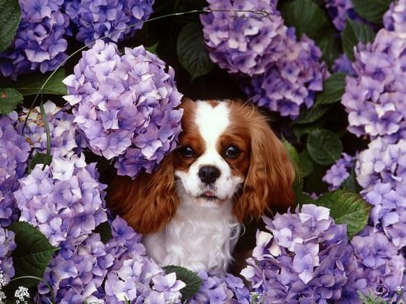 Cavalier_King_Charles_Spaniel_Floral